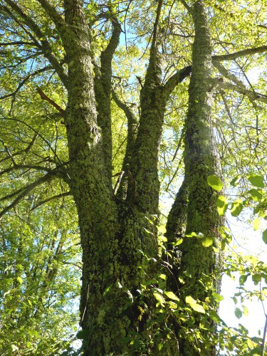 viry, jura,bois,cosmos,été,arbre,