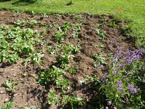 sanglier, pomme de terre, viry, jura, jardin,