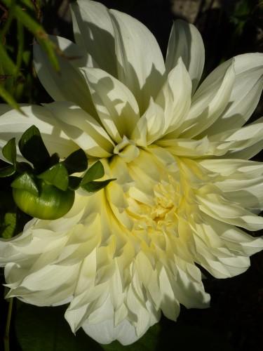 colchique, fleurs, viry,jura credulon,