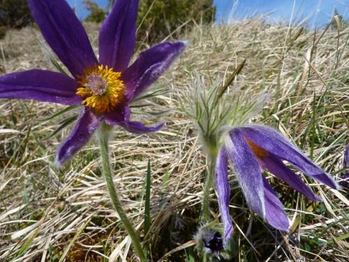 Viry,Jura, fleur protégée,printemps,credulon